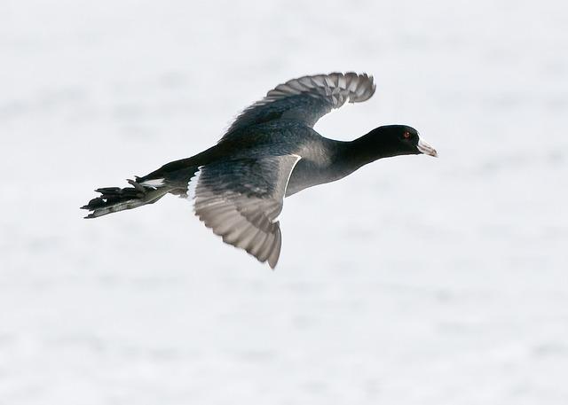 Coot, Fowl, Bird, Flight, Flying, Wings