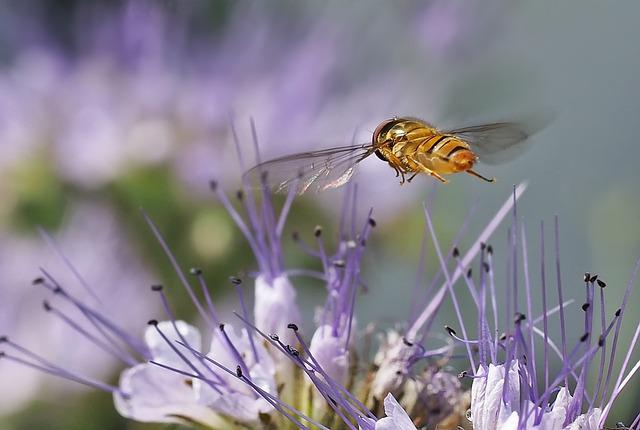 Phacelia, Insect, Flight, Flying, Spring, Nature, Field