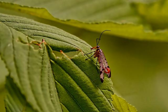 Animal, Insect, Scorpion Fly-male, Green, Flight Insect