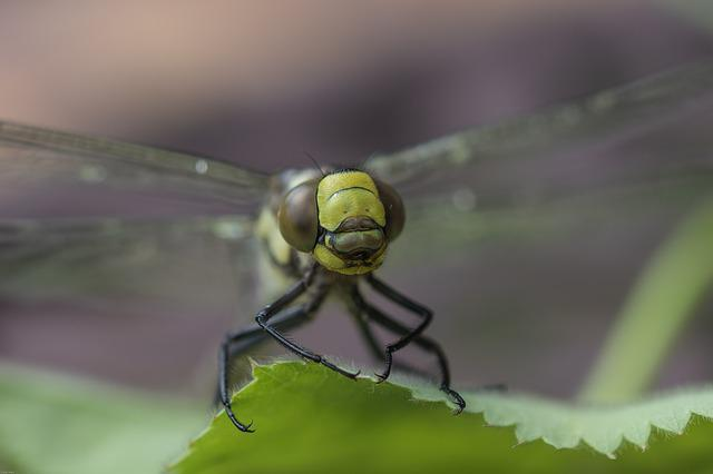 Dragonfly, Hawker, Flight Insect, Close, Macro, Nature