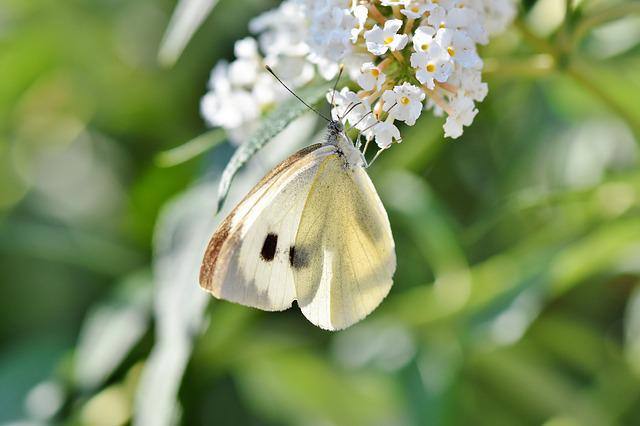 White Ling, Butterfly, Insect, Flight Insect