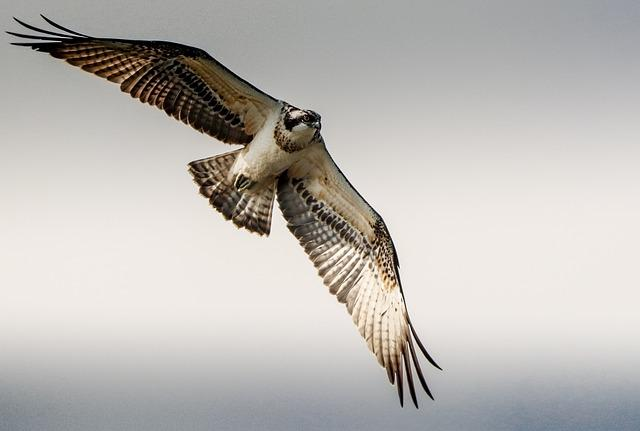 Osprey, Flight, Raptor, Flying, Nature