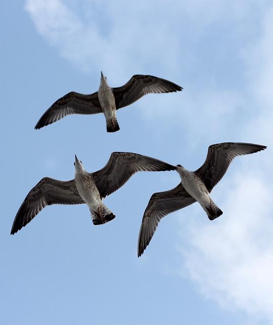 Seagulls, Three, Flight, Birds
