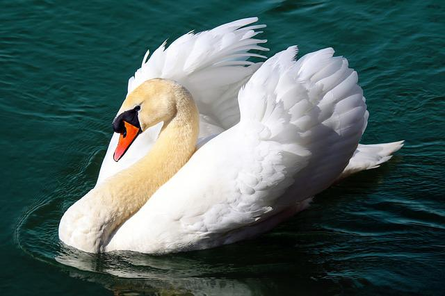 Swan, Water Bird, Animal, Floats, Pride, Lake