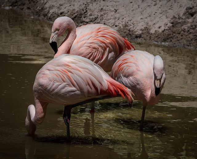 Flamingo, Pink Flamingos, Wading Bird, Flock, Feathers