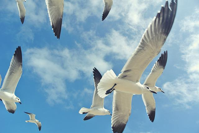 Blue Sky, Clouds, Flock Of Birds, Flying, Seagulls