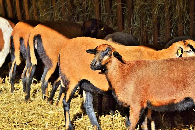 Sheep, Animals, Sheep's Wool, Flock Of Sheep, Animal