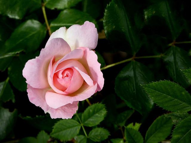 Rose, Blossom, Bloom, Pink, Close, Flora, Green, Plant