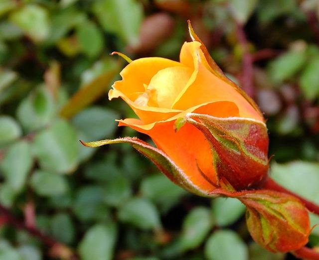 Bloom, Blossom, Flora, Flower, Macro, Orange, Rose