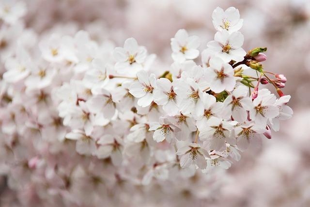 Bloom, Blooming, Blossom, Branch, Cherry, Flora, Flower
