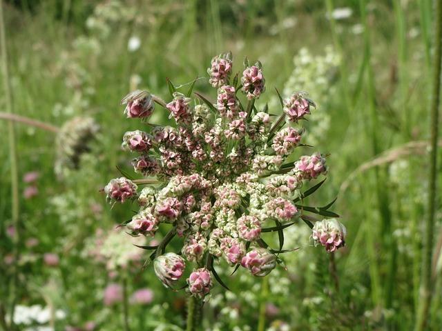 Daucus Carota, Wild Carrot, Wildflower, Flora, Botany