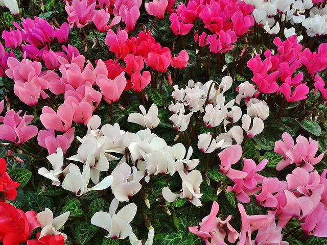 Cyclamen, Violet, Flowers, Flora, Botany, Pink, White
