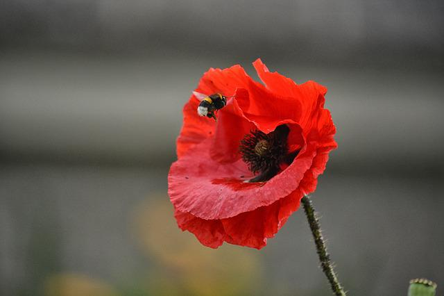 Poppy, Flower, Bourdon, Insect, Flora, Fauna, Botany