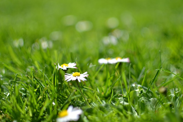 Bloom, Blossom, Daisies, Flora, Flowers, Grass, Lawn