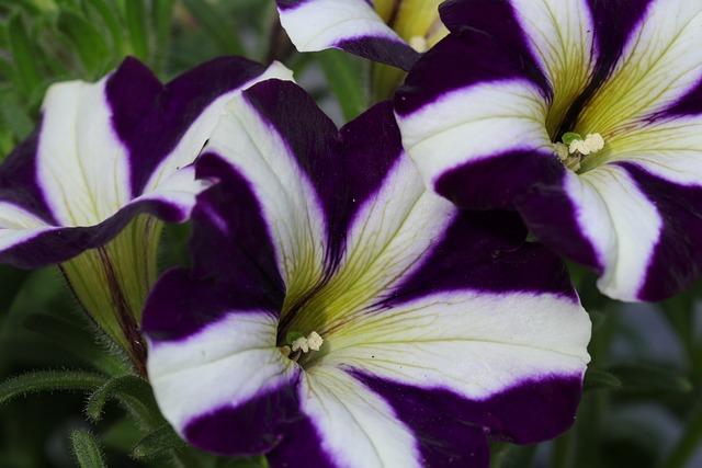 Petunia, Flower, Flowers, Nature, Flora, Floriculture