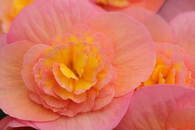 Begonia, Flowers, Pink, Yellow, Orange, Flora