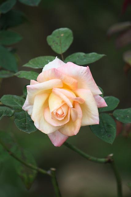 Flower, Flora, Leaf, Nature, Garden, Rose, Petal