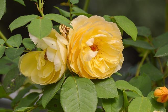 Flower, Leaf, Flora, Nature, Garden, Summer, Rose