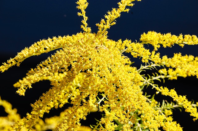 Golden Rod, Gold Diamond, Herbaceous Plant, Flora