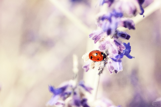 Ladybug, Lavender, Plant, Flora, Macro, Purple, Insect
