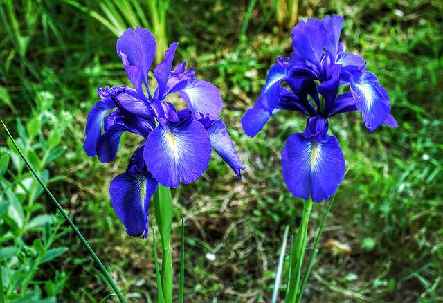 Iris, Flower, Purple, Blue, Nature, Flora, Outdoors