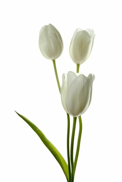 Flower, Nature, Flora, Leaf, Floral, Tulip, Petal