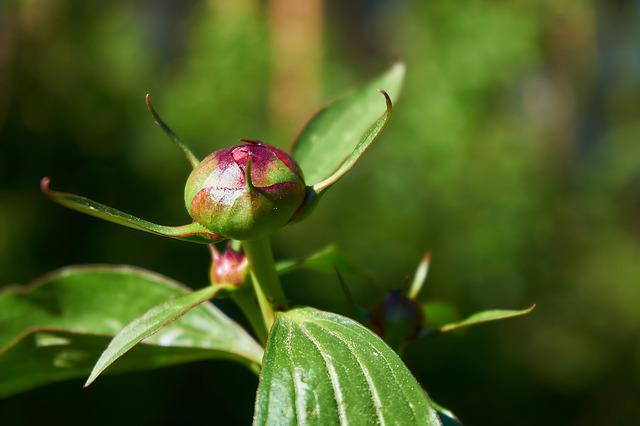 Peony, Bud, Flower, Nature, Flora, Baby Rose, Red