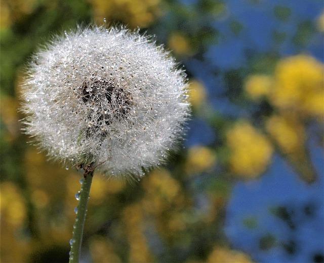 Dandelion, Flora, Nature, Downy, Seed, Softness