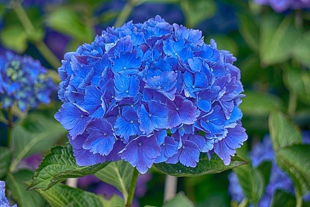 Hydrangea, Flower, Flora, Blue, Nature, Summer, Garden