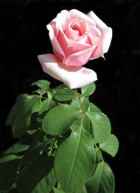 Flower, Nature, Leaf, Flora, Rose