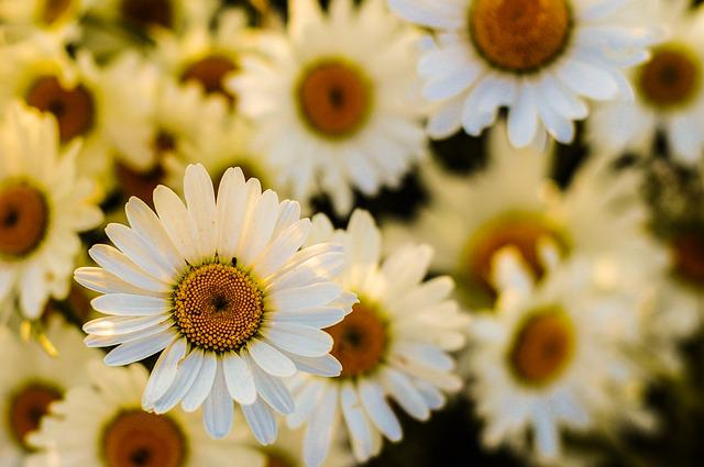 Oxeye, Daisy, Blossom, Flora, Garden, Bloom, Yellow