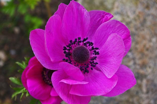Annemone, Garden, Flower, Flora, Nature, Pink, Blossom