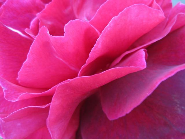 Flower, Nature, Rose, Flora, Pink, Petals