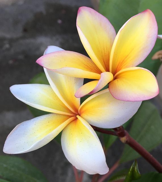 Flower, Frangipani, Plumeria, Tropical, Flora