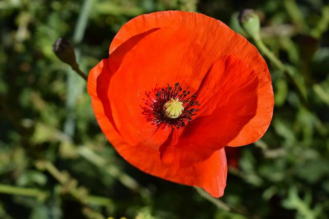 Flower, Nature, Flora, Spring, Poppy, Red, Blooming