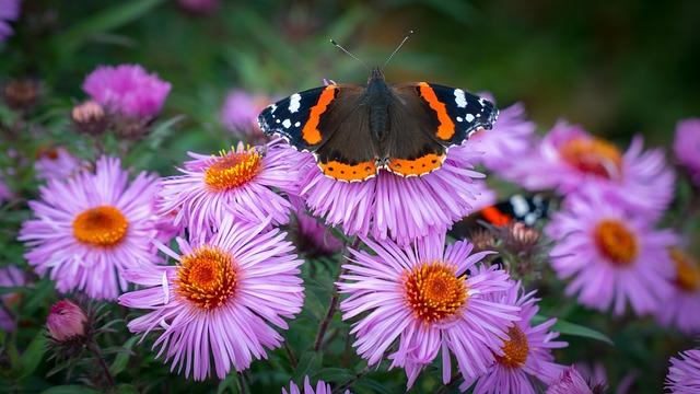 Red Admiral, Butterfly, Nature, Flower, Flora, Summer