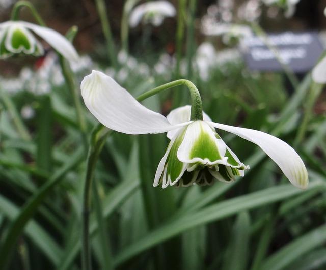Flora, Nature, Flower, Leaf, Growth, Snowdrop, Spring