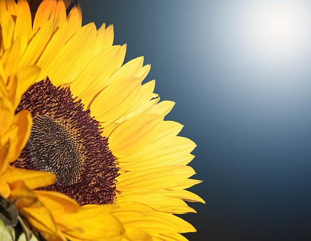 Flower, Sunflower, Summer, Yellow, Flora, Nature, Sun