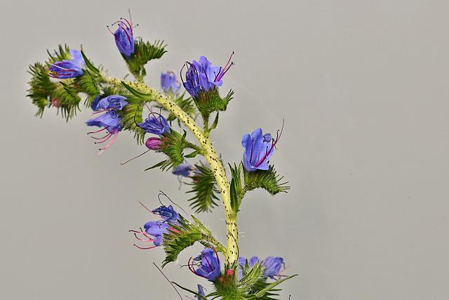 Flowers, Ordinary Natternkopf, Blue, Wild Plant, Flora