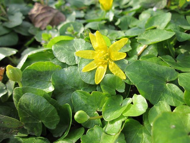 Ficaria Verna, Lesser Celandine, Wildflower, Flora