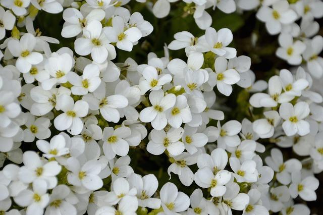 Flowers, Perennial, Sweet Alysse, Floral Arrangement
