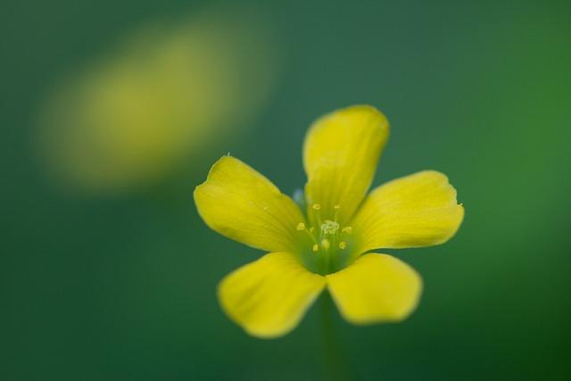 Oxalis Corniculata, Affix, Flowers, Floral Close-ups
