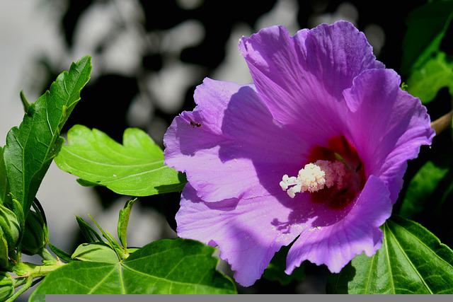 Hibiscus, Flower, Bloom, Blossom, Floral, Plant, Nature