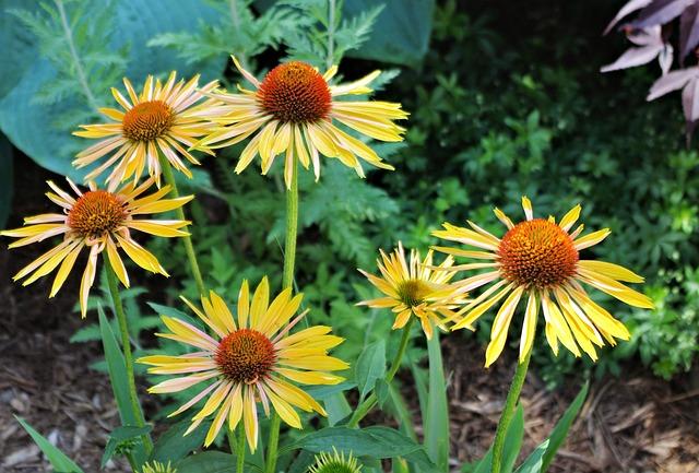 Harvest Moon Coneflower, Garden, Floral, Flowers
