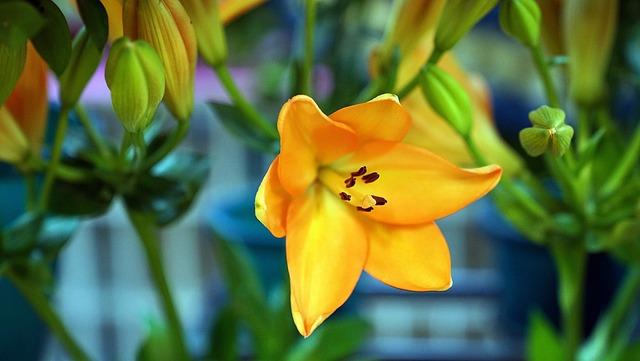 Lily, Flower, Orange, Floral, Blossom, Plant, Petal