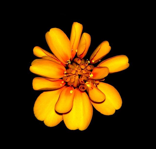 Marigold, Flowers, Orange, Yellow, Blossom, Floral