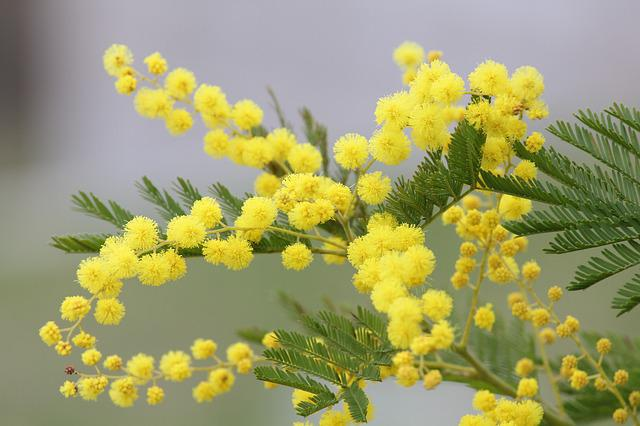 Mimosa, Yellow Flower, Spring, Nature, Floral, March 8