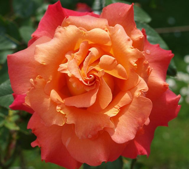 Flower, Rose, Petal, Flora, Nature, Blooming, Floral