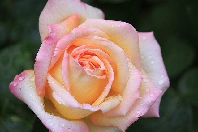 Flower, Rose, Petal, Floral, Romance, Garden