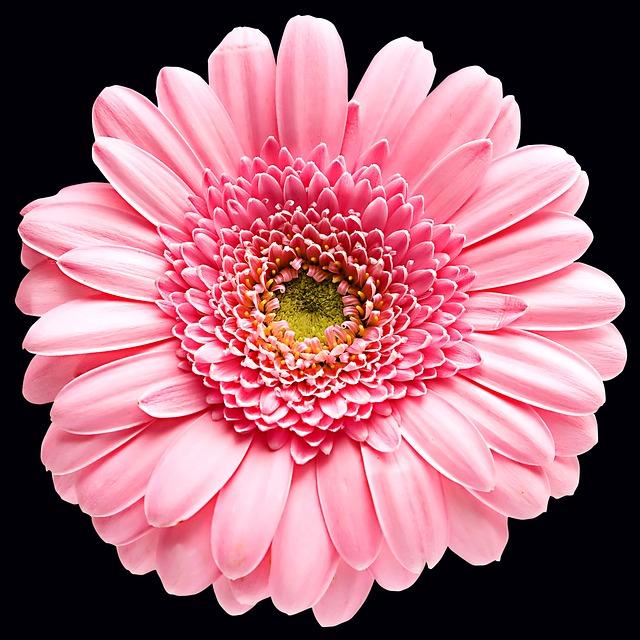 Flower, Petal, Plant, Floral, Pink Flower